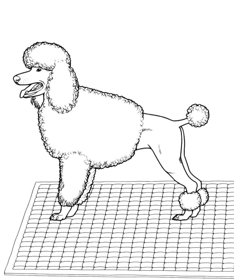 Animali cane barbone for Cane barbone