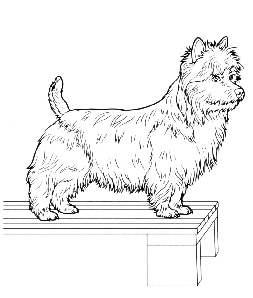 Animali - West Highland White Terrier